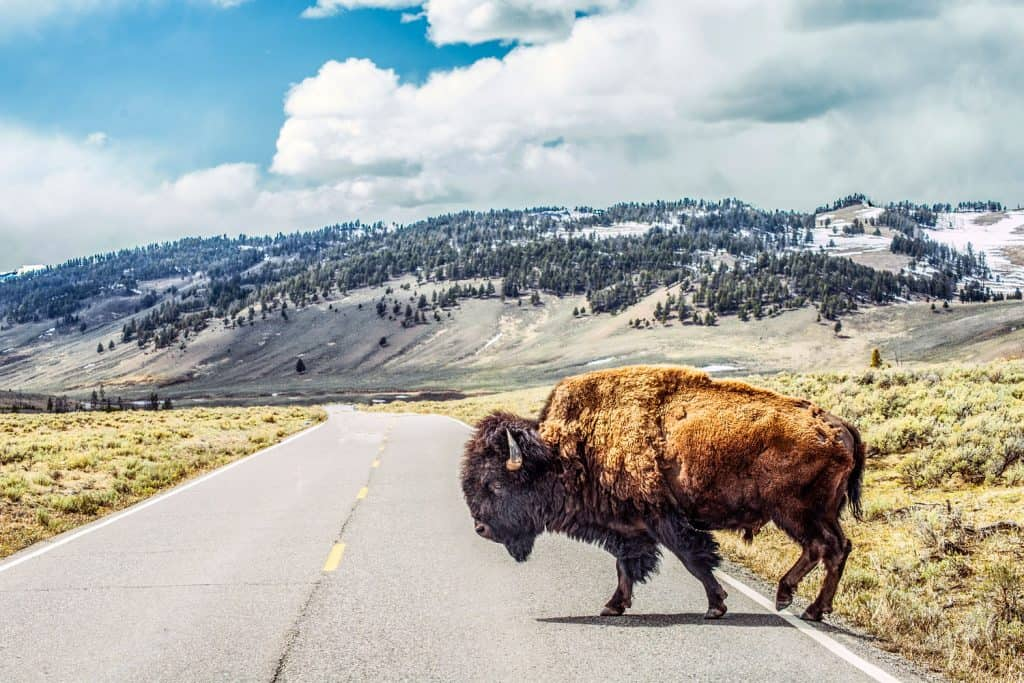 A bison crossing the road with the scenic view of the mountain in Montana